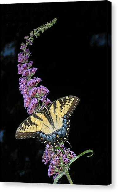 Yellow Swallowtail Canvas Print