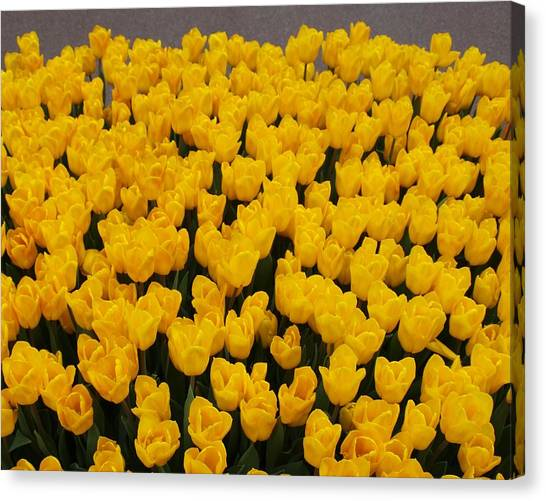 Yellow Tulips Canvas Print by Larry Krussel