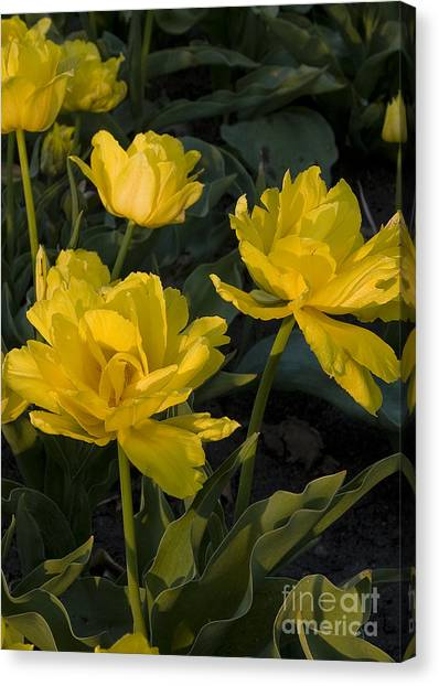 Yellow Tulips  Tulipes Jaune Canvas Print by Nicole  Cloutier Photographie Evolution Photography