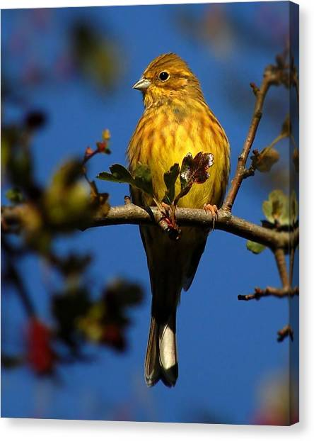 Yellowhammer Canvas Print
