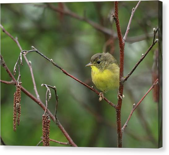 Warblers Canvas Print - Yellowthroated Warbler by Susan Capuano