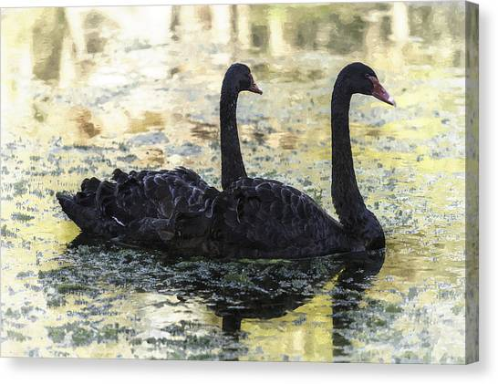 Young Black Swans Canvas Print