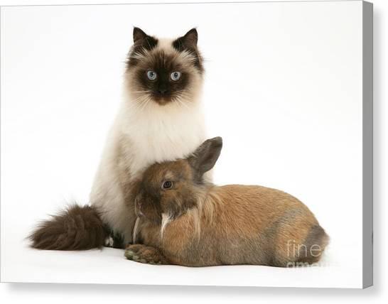 Birmans Canvas Print - Young Cat And Rabbit by Jane Burton