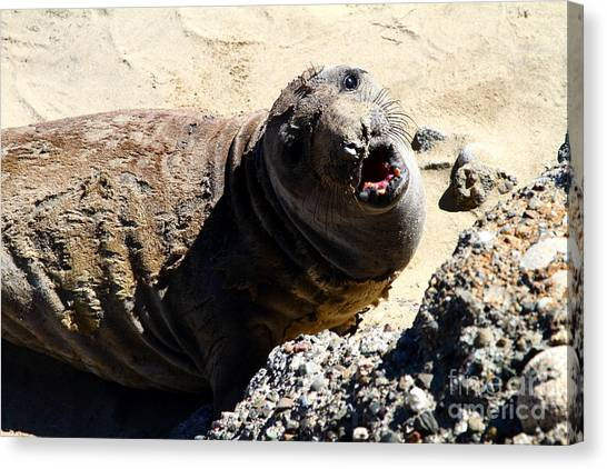 Young Elephant Seal Molting . 7d16100 Canvas Print by Wingsdomain Art and Photography