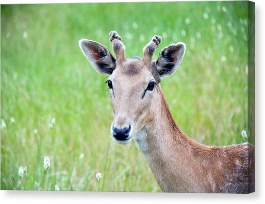 Deer Canvas Print - Young Fawn, Red Fallow Deer Buck by Sharon Vos-Arnold