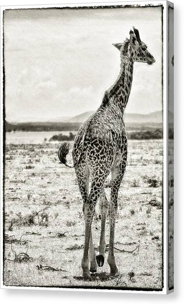 Canvas Print featuring the photograph Young Giraffe Strolling Around by Perla Copernik