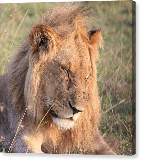 Kenyan Canvas Print - Young Lion Male Is Sleeping He Enjoys by Matteo Lualdi