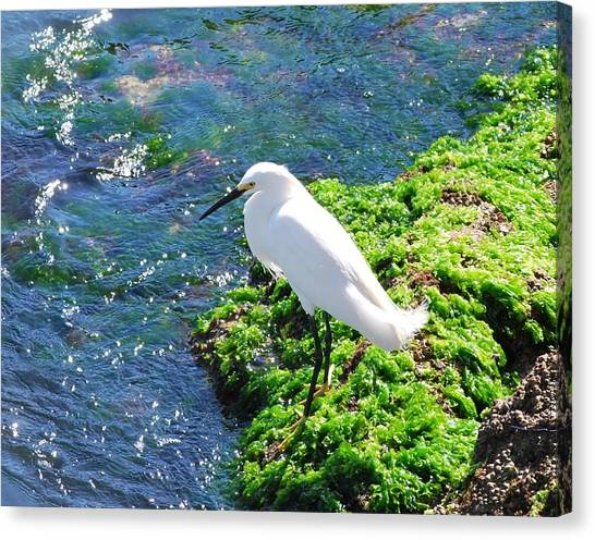 Young Snowy Egret Canvas Print