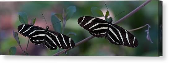 Zebra Butterflies Canvas Print by C Thomas Willard
