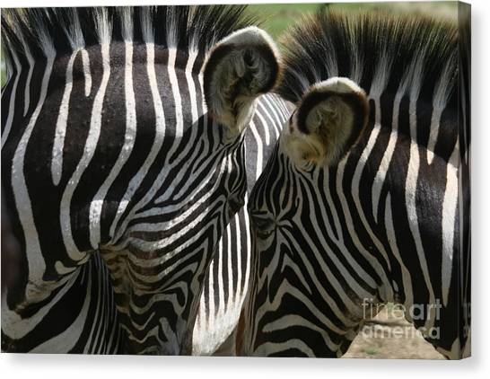 Zebra Lovers Canvas Print by Carol Wright