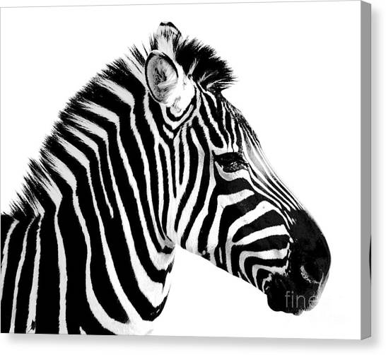 Zebras Canvas Print - Zebra by Rebecca Margraf