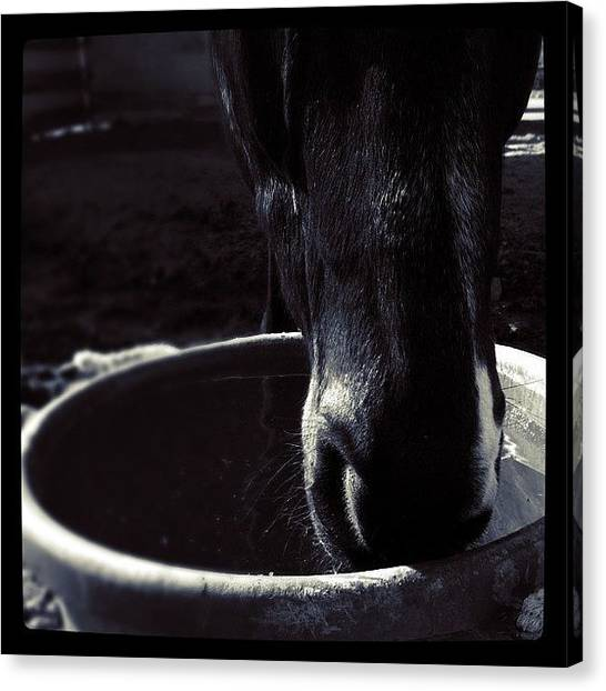 Thoroughbreds Canvas Print - #zeus, Formerly Known As #ominous by Ashley Gamel