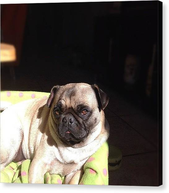 Pugs Canvas Print - Zoe  #puglove #nofilter #pug #pugs by Dustin Ross