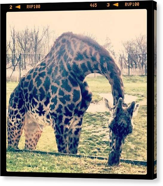 Giraffes Canvas Print - Zoo Day by Marissa Soragnese