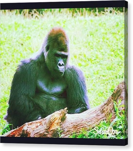 Social Canvas Print - #zoo #wildlife #gorilla #ape #summer by Susan McGurl