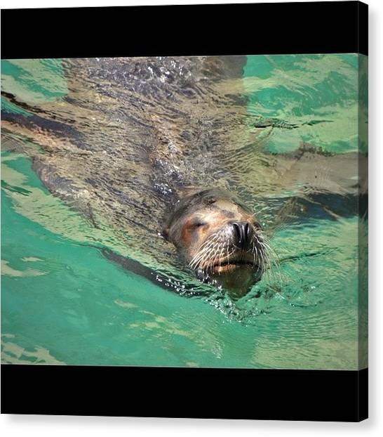 Swimming Canvas Print - Zooooo #nofilter #seal #nature #water by Jessie Schafer