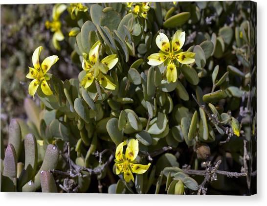 Zygophyllum Cordifolium Flowers Canvas Print by Bob Gibbons