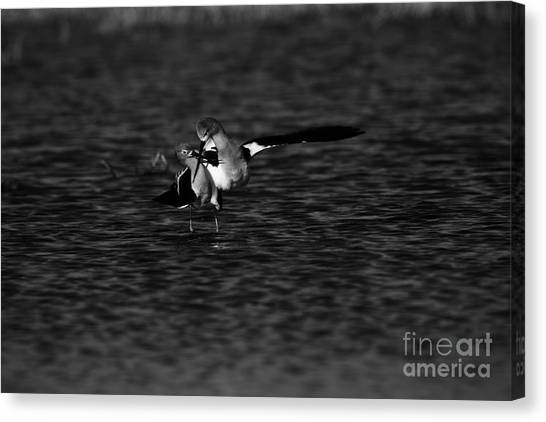 American Avocet Dance  Canvas Print