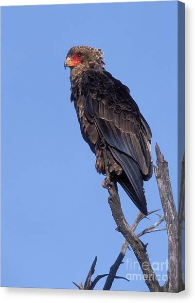 Bataleur Eagle Canvas Print -  Bataleur Eagle Viewpoint by Sandra Bronstein