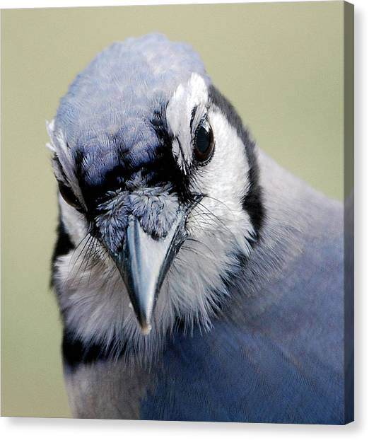 Bluejays Canvas Print -  Blue Jay by Skip Willits