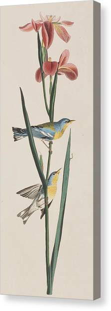 Warblers Canvas Print -  Blue Yellow-backed Warbler by John James Audubon