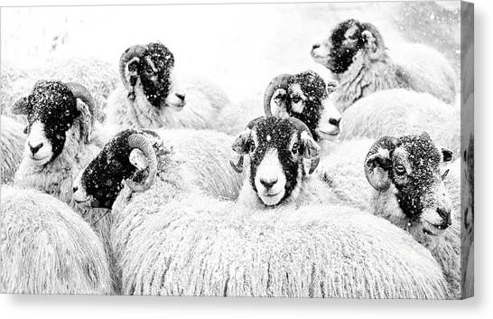 Sheep Canvas Print -  In Winters Grip by Janet Burdon
