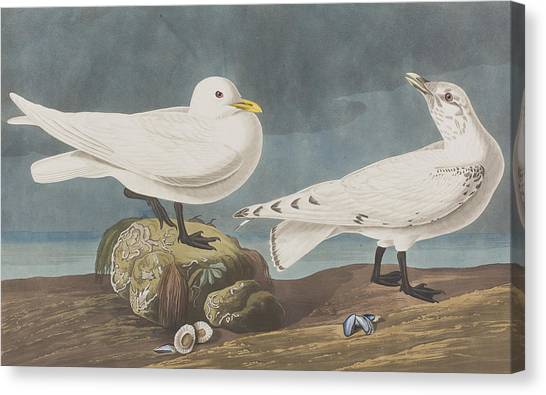 Gulls Canvas Print -  Ivory Gull by John James Audubon