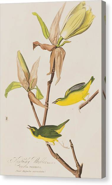 Warblers Canvas Print -  Kentucky Warbler by John James Audubon