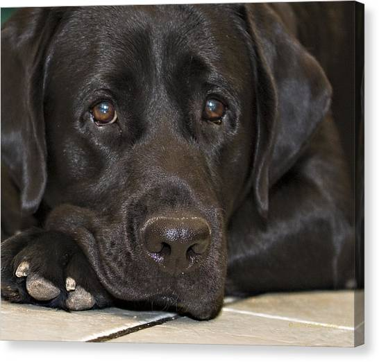 Labrador Retriever A1b Canvas Print