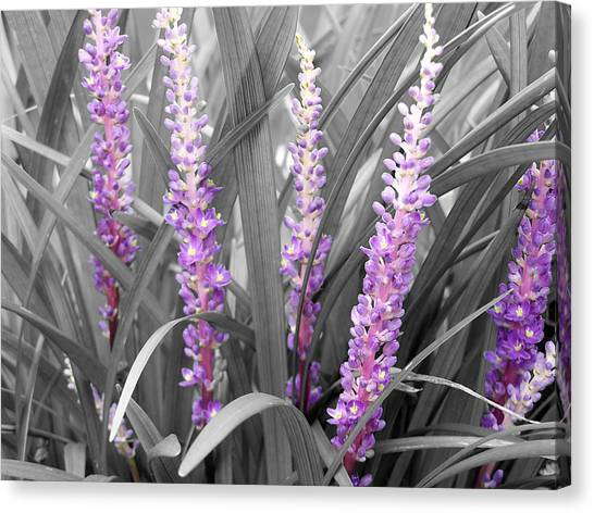 Liriope In Color Canvas Print by Evelyn Patrick