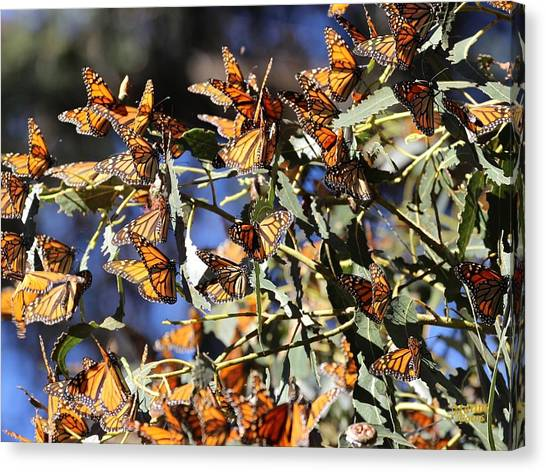 Monarch Cluster Canvas Print