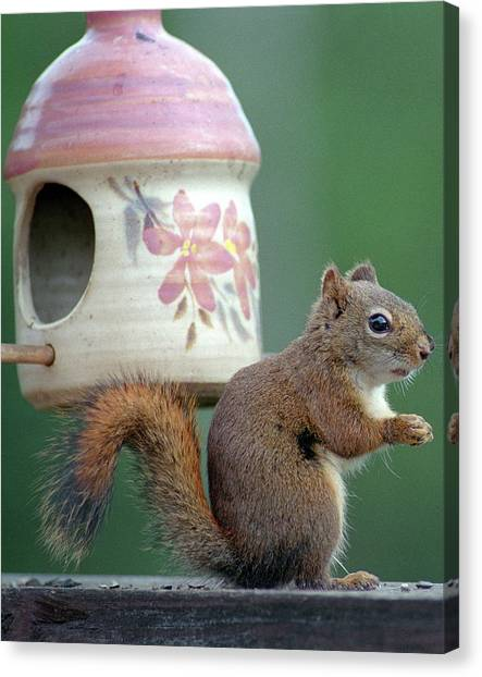Squirrel Chatter Canvas Print