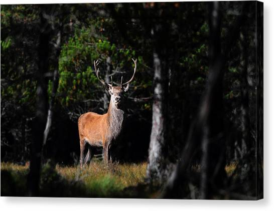 Stag In The Forest Canvas Print