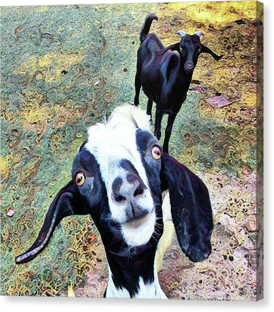 Goats Canvas Print - 😂 Still Love This One #goat by Kazan Durante