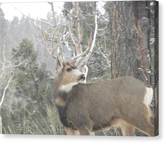 Buck Front Yard Divide Co Canvas Print