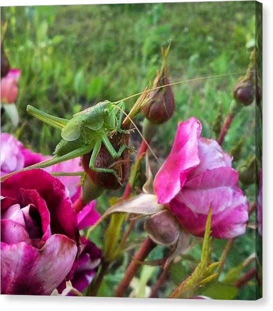 Grasshoppers Canvas Print - Везёт мне на них)) by Olga Strogonova
