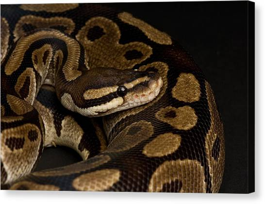 Ball Pythons Canvas Print - A Ball Python Python Regius by Joel Sartore