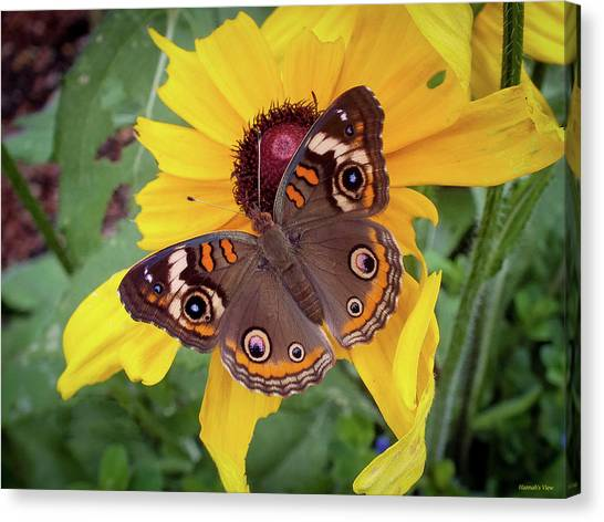 A Common Buckeye  Canvas Print