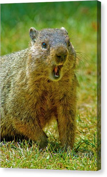 Groundhogs Canvas Print - A Hungry Fellow  by Paul W Faust - Impressions of Light