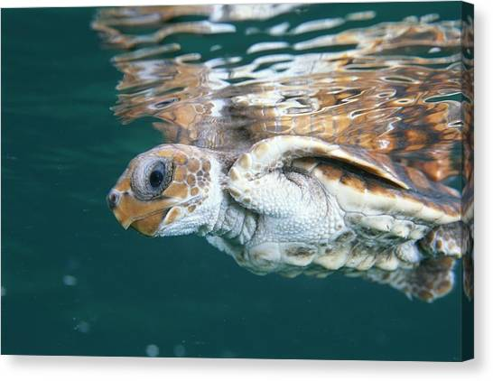 And Threatened Animals Canvas Print - A Juvenile Endangered Loggerhead Turtle by Brian J. Skerry