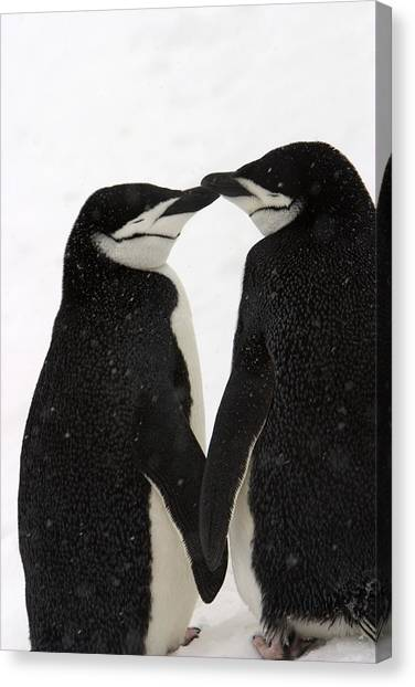 Chin Canvas Print - A Pair Of Chinstrap Penguins by Ralph Lee Hopkins