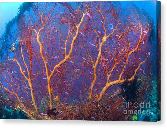 Kimbe Bay Canvas Print - A Red Sea Fan With Purple Anthias Fish by Steve Jones