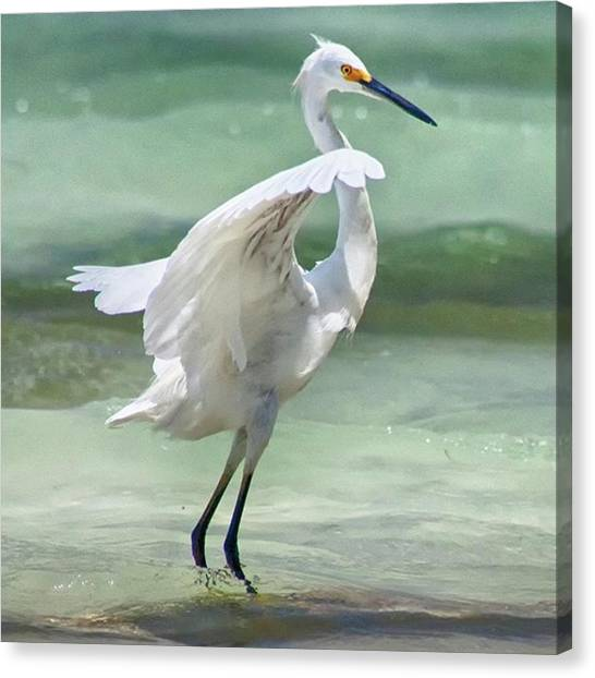 Birds Canvas Print - A Snowy Egret (egretta Thula) At Mahoe by John Edwards