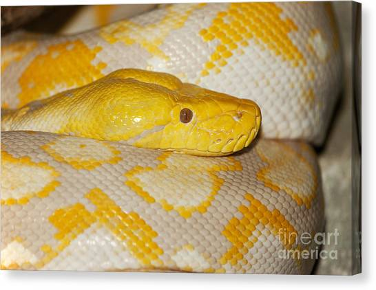 Reticulated Pythons Canvas Print - Albino Reticulated Python by Gerard Lacz