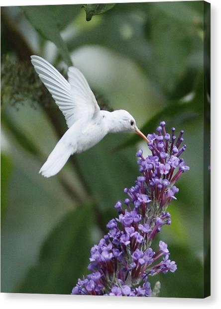 Hummingbird Canvas Print - Albino Ruby-throated Hummingbird by Kevin Shank Family
