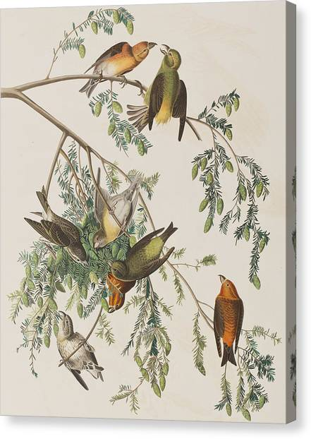 Crossbills Canvas Print - American Crossbill by John James Audubon