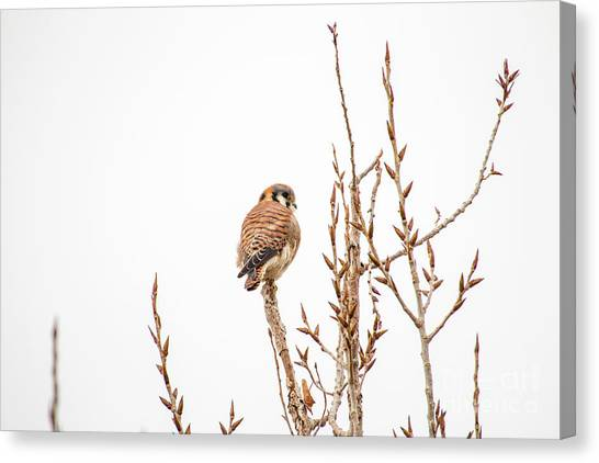 Canvas Print featuring the photograph American Kestrel by Spencer Baugh