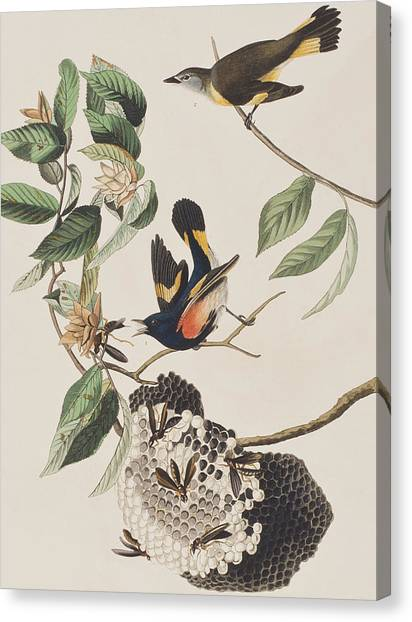 Wasp.insect Canvas Print - American Redstart  by John James Audubon