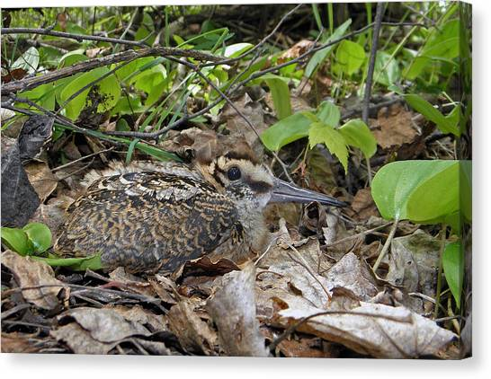 Woodcock Canvas Print - American Woodcock Chick by Asbed Iskedjian