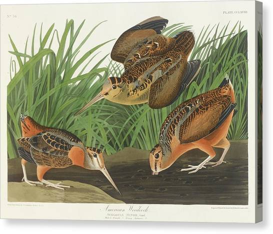 Woodcocks Canvas Print - American Woodcock by John James